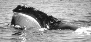 Whales apparently can see just one color clearly underwater. Photo by NOAA.