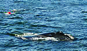 Scientists think that right whales are more aware of red and orange than other colors. NOAA photo.