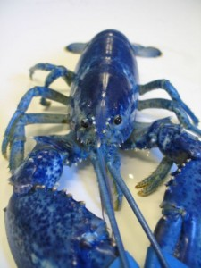 Bright blue lobsters turn red when they are cooked. Photo courtesy of Maine State Aquarium.
