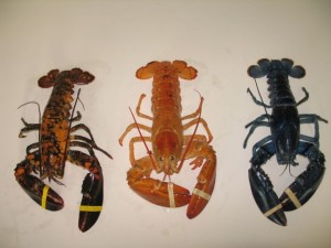 Calico, orange, and blue lobsters are rare. Photo courtesy of Maine State Aquarium.