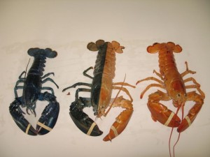Three colors of lobsters. Photo courtesy of Maine State Aquarium.