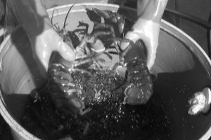 Treat lobsters like fragile eggs, remove them from the trap by hand, and keep lots of dissolved oxygen in your tanks. These simple steps will give you a better quality lobster, according to a study undertaken in Stonington. Video still courtesy of Opera House Arts.