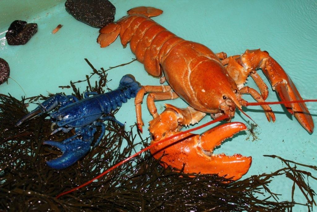 Warmer water and lobster reproduction