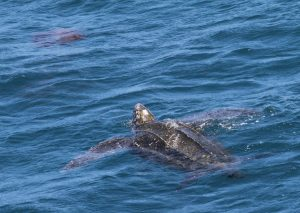 A leatherback turtle is named for the leathery, semi-flexible plates that form its shell. The animals may grow to between 600 and 1,000 pounds in weight. NOAA photo.