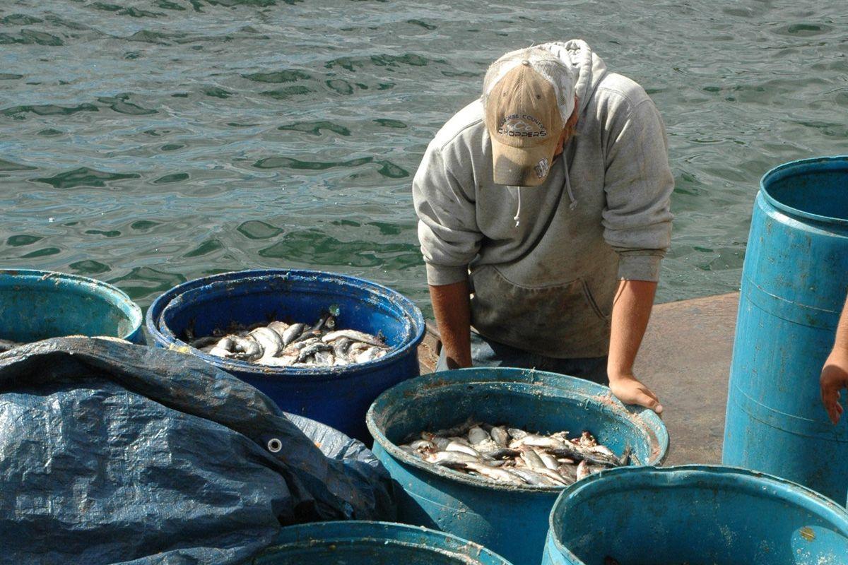 herring bait