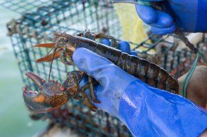 Lobstermen holding a lobster